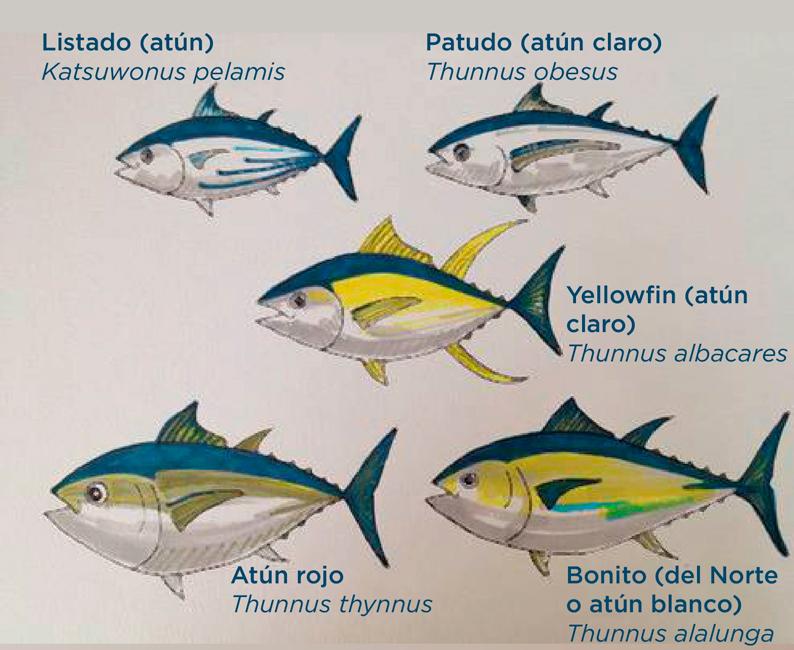 diferentes especies de atún